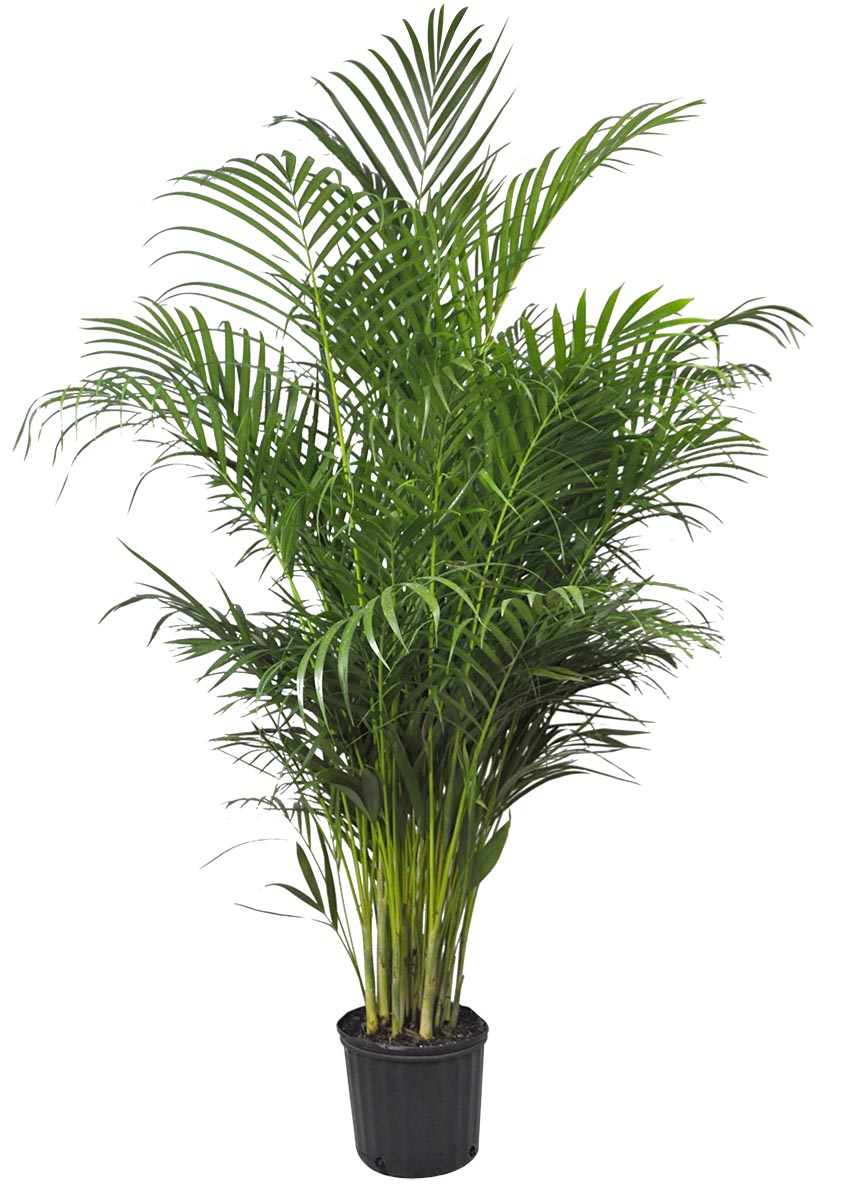 Entretien areca stunning areca with entretien areca free for Yucca exterieur maladie